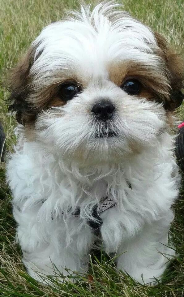 Chibi, the most lovable Shih Tzu, approximately 10 weeks  shop cool dog stuff at https://www.k9kitsch.com