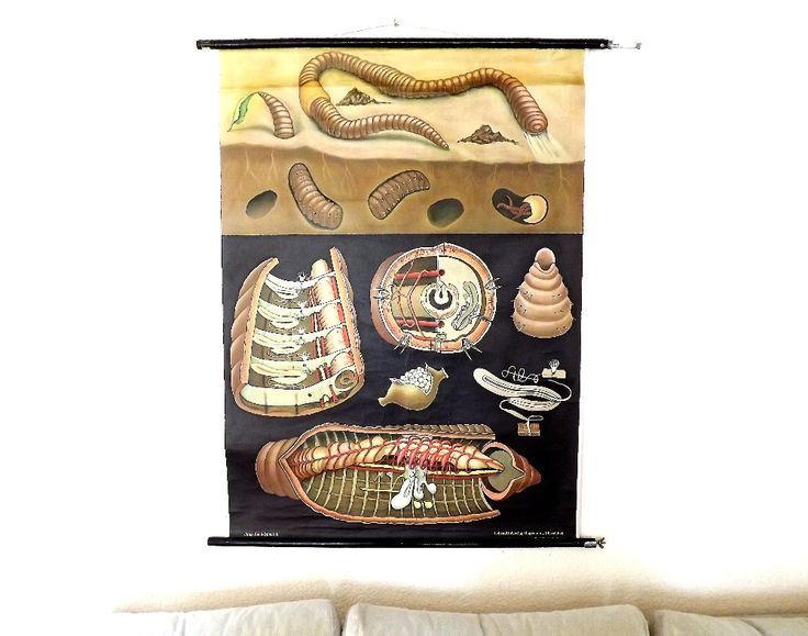 Vintage Scientific Chart, Earthworm, Jung Koch Quentell, German Wall Chart, Educational Scroll, Zoological Wall Poster by Lunartics on Etsy