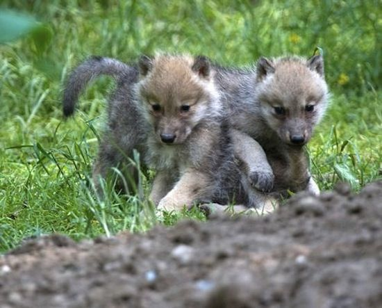 Tribal Cute Wallpaper Cute Arctic Wolf Pup Chase S Wolves Pinterest Wolf