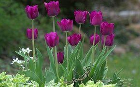 Обои яркие, фиолетовые, тюльпаны, весна, природа