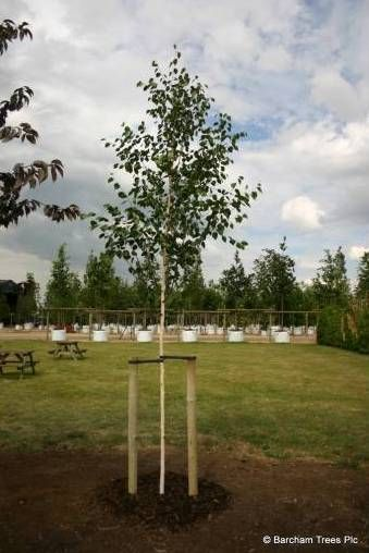 The following steps outline how to plant and stake Barcham Trees in a soft landscape.  http://www.barchampro.co.uk/planting-guide-using-stakes-and-tie