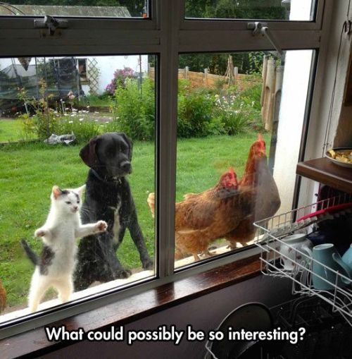 dog cat and chickens looking in window. what could possibly be so interesting