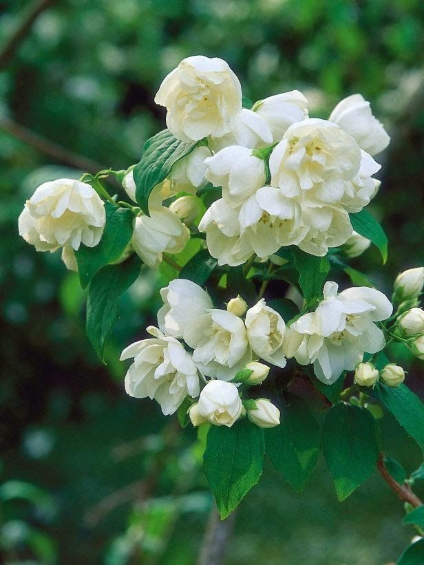 Mock Orange - Powerfully fragrant, the mock orange has pure-white double flowers that appear on this dark-green deciduous shrub in early or midsummer.
