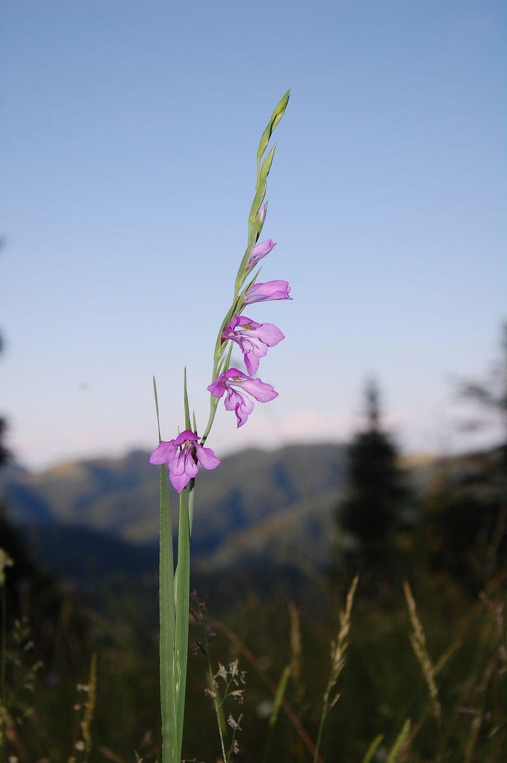 https://flic.kr/p/Q1BnyD | Gladiolus Imbricata (gladiola salbatica)