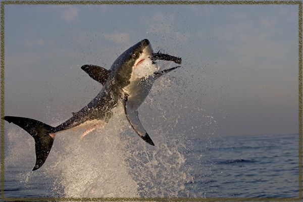 #25Reasons why you love South Africa: who says White Sharks Can't Jump