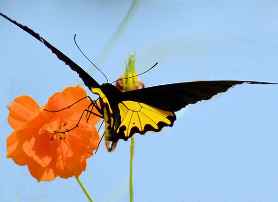 6 Common Birdwing Butterfly Pictures