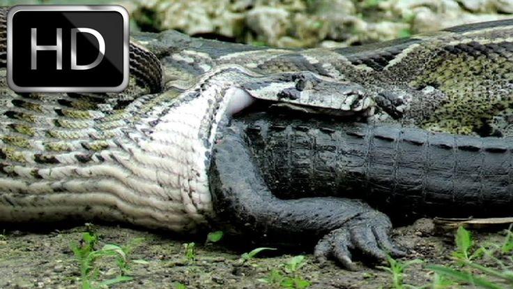 National Geographic Documentary - Giant Burmese Pythons - Full Documenta...