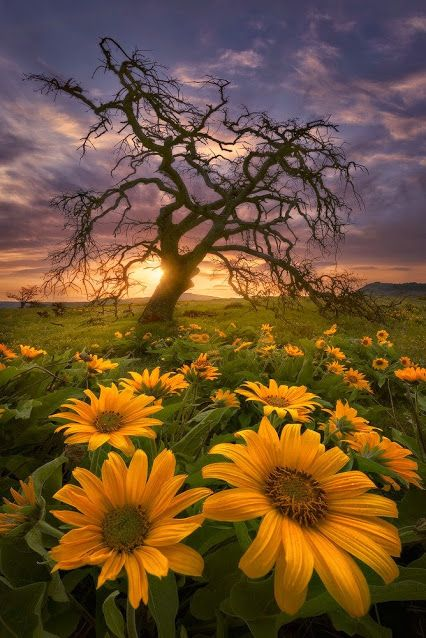 Sunset in the Fields of sunflowers