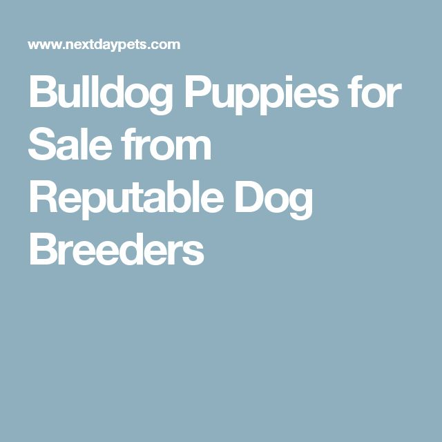 Bulldog Puppies for Sale from Reputable Dog Breeders