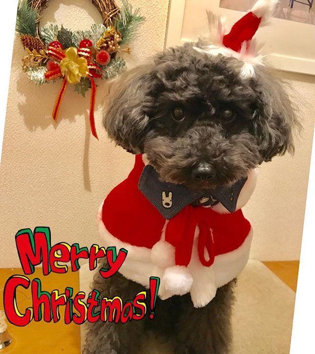 メリークリスマス🎄 みんなのクリスマスpic、とっても楽しいですね🤗 ティーダサンタです🎅  #メリクリ #サンタさん #モフモフ #トイプードル #トイプードルブラック #トイプー #黒プー#わんこ#愛犬 #ふわもこ #dog#toy poodle #Merry Christmas