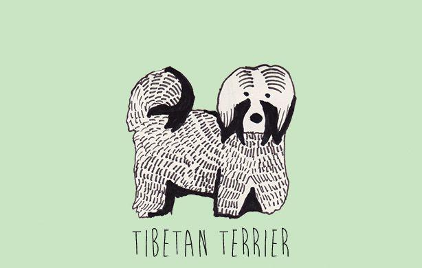 T is for Tibetan Terrier.