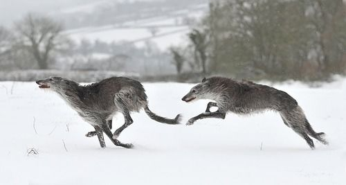 Deerhounds running in the snow