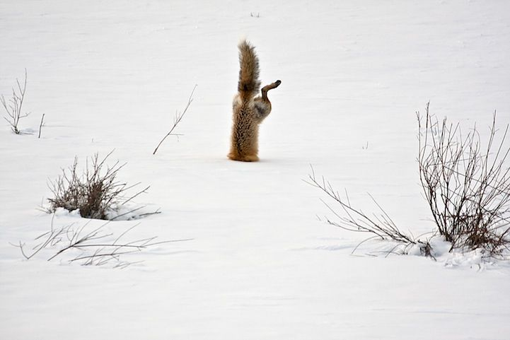 Honorable Mention: Red Fox Catching Mouse Under Snow