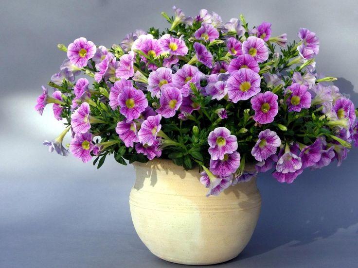 květiny obrázky, petúnie tapety, odstín vektor, sázecí pozadí
