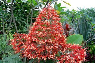 Khasiat dan Manfaat Bunga Pagoda. Bunga Pagoda (Clerodendrum japonicum Sweet) adalah salah satu jenis tanaman perdu yang biasanya tumbuh dengan tinggi 1 – 3 meter. Tanaman ini kerap ditanam di pekarangan rumah, ataupun di jalan sebagai tanaman peneduh. Selain sebagai tanaman hias, Bunga Pagoda ternyata juga memiliki banyak manfaat sebagai tanaman obat tradisional. Bagian dari tanaman Bunga Pagoda yang bermanfaat dan sering dijadikan sebagai obat tradisional adalah daun, akar, dan bunganya.