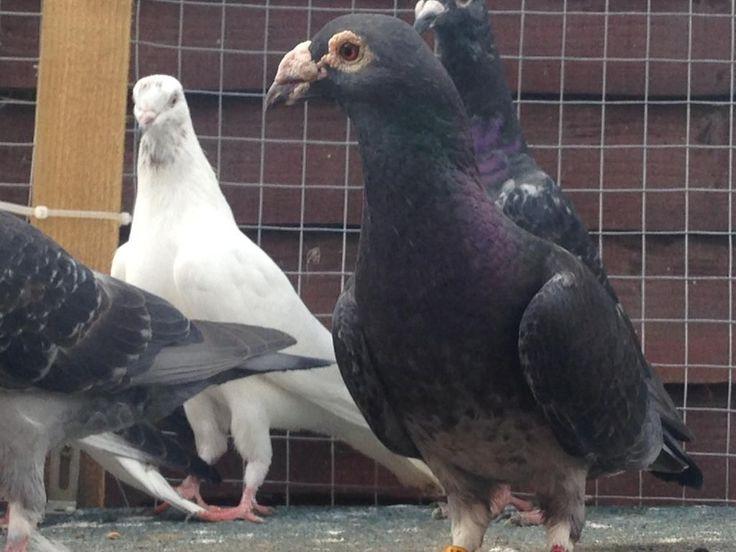 postadsuk.com-racing-pigeons-for-sale.JPG 1,024×768 pixels
