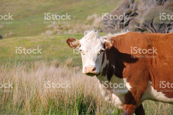 Hereford Cow in Rural New Zealand Scene royalty-free stock photo