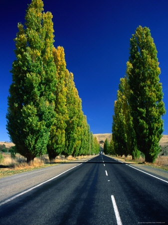 Poplar trees line the road through our town
