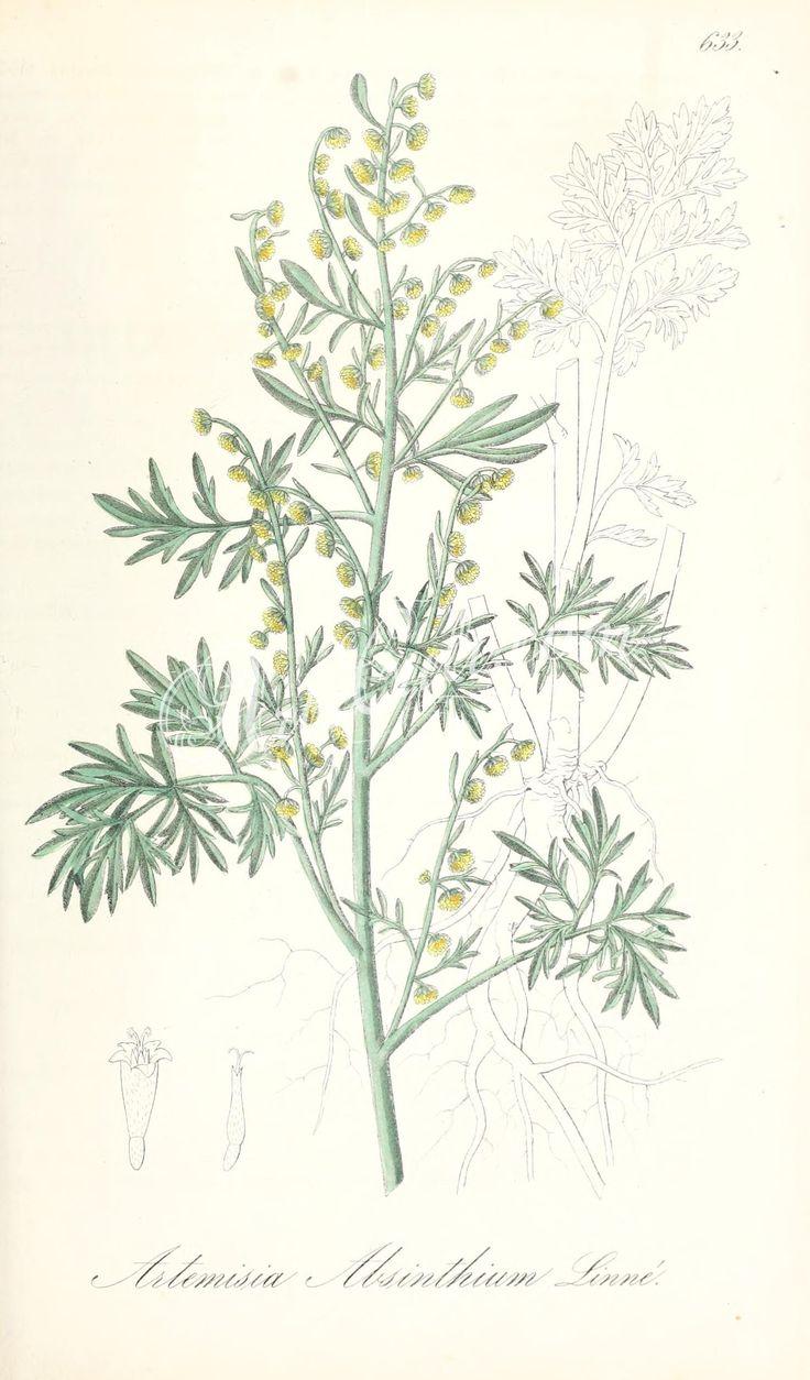 artemisia absinthium      ...
