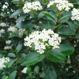 Les 25 meilleures id es de la cat gorie arbuste feuillage persistant sur pinterest arbre for Arbuste persistant ombre le havre