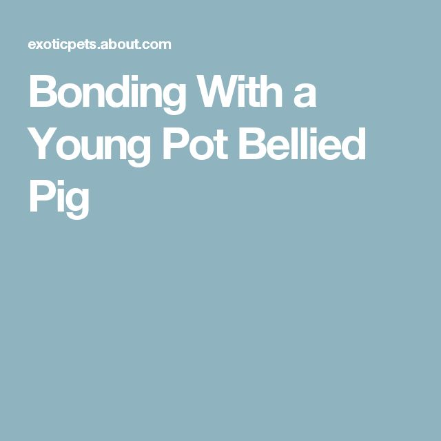 Bonding With a Young Pot Bellied Pig