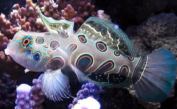 O mandarinfish ou o dragonet do mandarin (Synchiropus splendidus), é um membro pequeno, brilhantemente colorido da família do dragonet, que é popular no comércio do aquário do saltwater. O mandarinfish é nativo ao Pacífico, variando aproximadamente das ilhas de Ryukyu para o sul a Austrália.