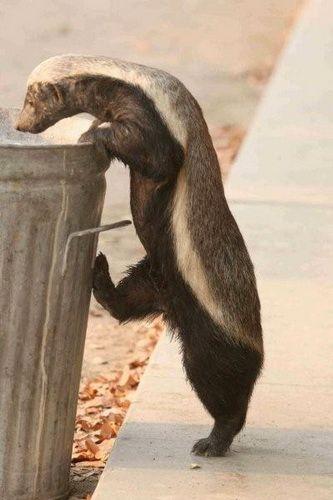 Барсук медоед (Honey Badger) фото 9