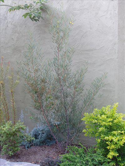 Acacia kempeana • Australian Native Plants • Plants • 800.701.6517