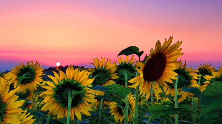 1zoom Wallpaper Desktop Background Nature Sunflower Wallpaper Nature Desktop Wallpaper