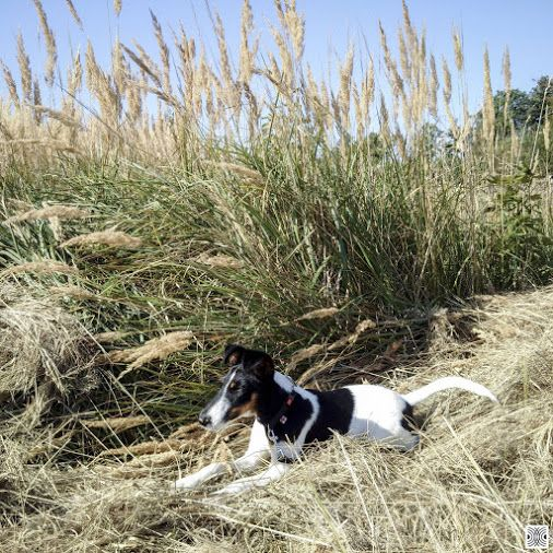 4.9.2016 - day 101 - nice spot to rest for a while ... starting another hundred  Blackberry Passport  www.pavelvrzala.com  #SmoothFoxTerrier #puppy #little #dog #grass #field #meadow #Blackberry #Passport