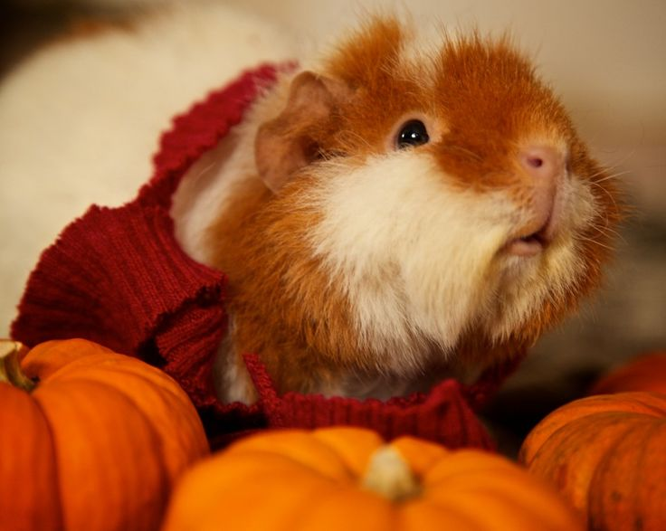 Having Guinea Pigs as Pets - thesprucepets.com