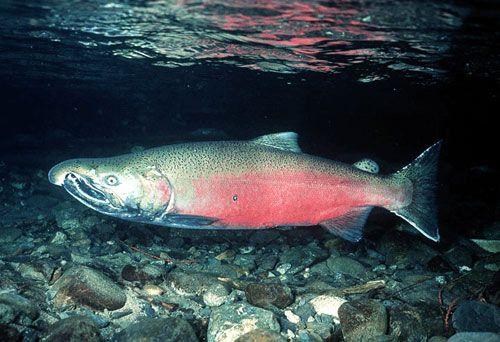 Cara Budidaya Ikan Salmon Indonesia Terlengkap Bisnis