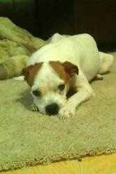 Dawn is an adoptable Boston Terrier Dog in Media, PA. CUTENESS ALERT! DAWN is an adorable, petite Boston Terrier, probably mixed with Whippet. She was abandoned on the side of a busy rode, emaciated, ...