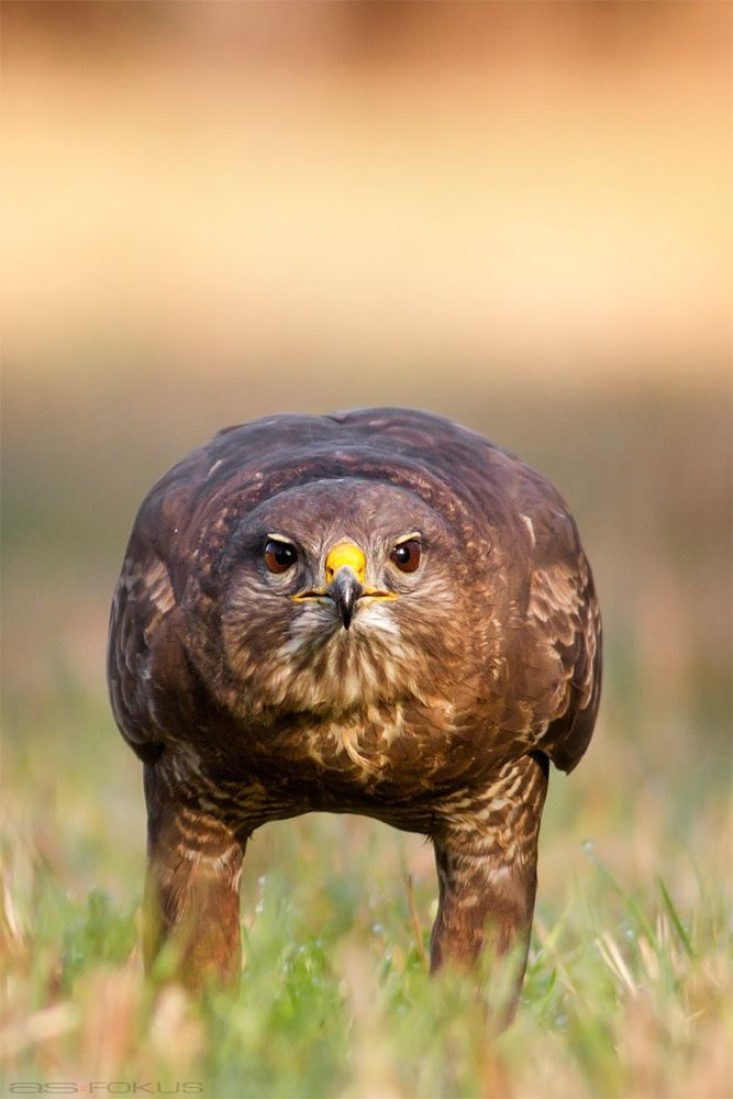 Common buzzard by Andy on 500px....looks like a hawk to me....go figure