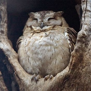 Probably not a hungover owl. It looks way too contented and at peace with the world.