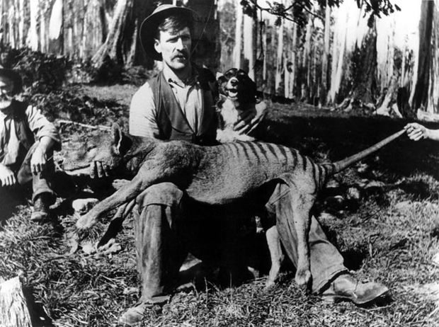 Thylacine | Tasmanian Tiger. Now extinct. So sad
