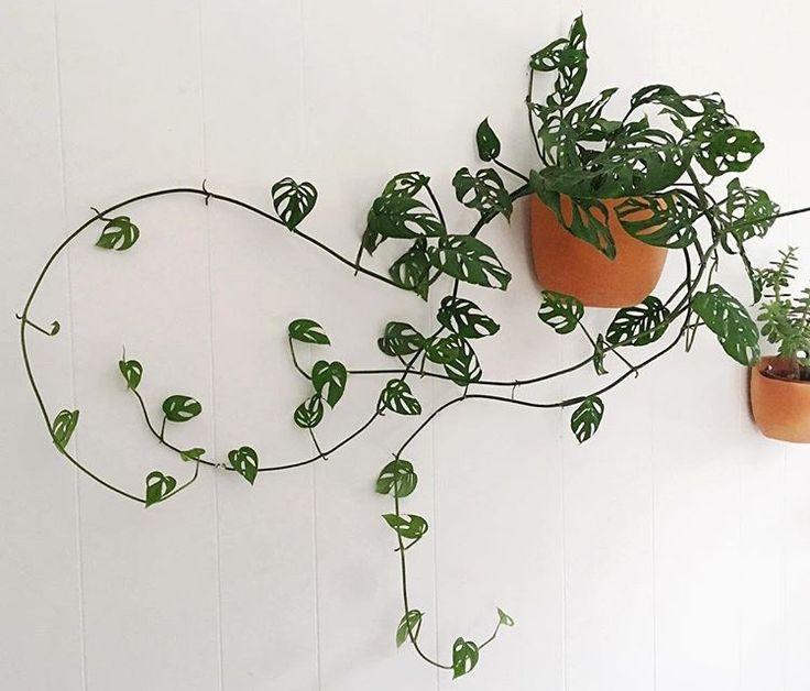 몬스테라 오블리쿠아 - Monstera obliqua : PLANT ODD