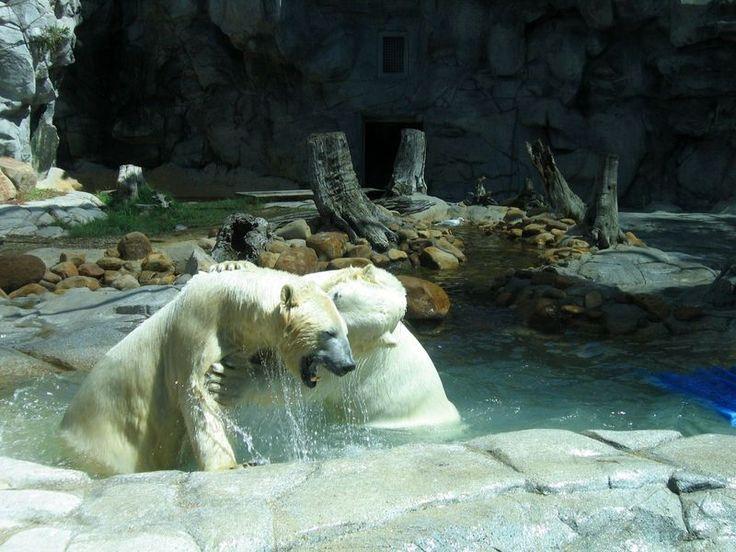 Белые медведи в Австралии