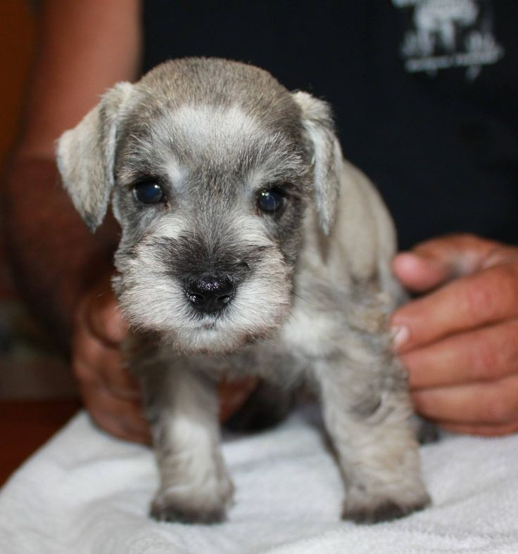 Sam, one of our 5 week old Mini Schnauzer puppies