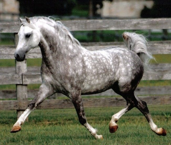 images of dapple grey horses | Dappled grey horse | Horses