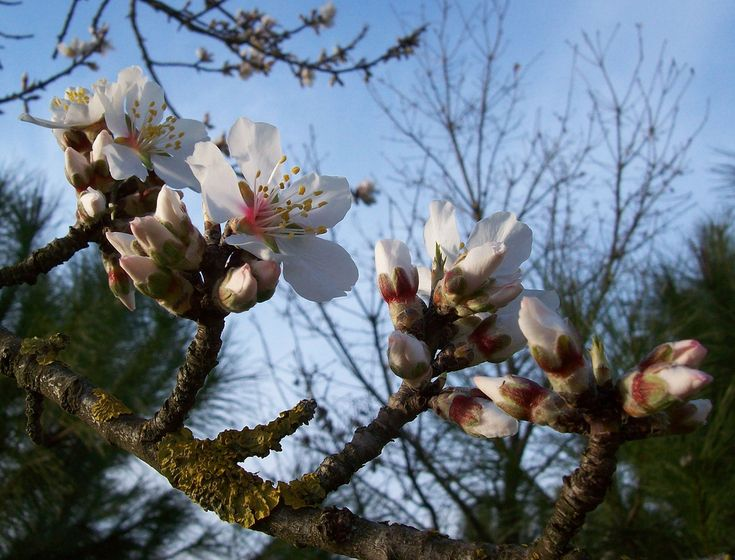 It's done! The Mandorlo in fiore (almond blossom) festival will be celebrated from 8 of February to 16 of March