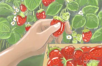 How to Grow Hydroponic Strawberries (with Pictures)