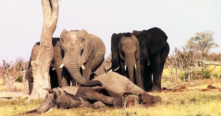 Ces éléphants ne veulent pas abandonner le cadavre de leur congénère