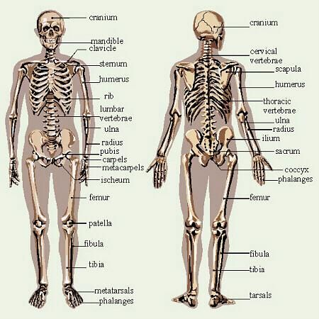 skeletal system diagrams including definitions of the major bones, Human Body