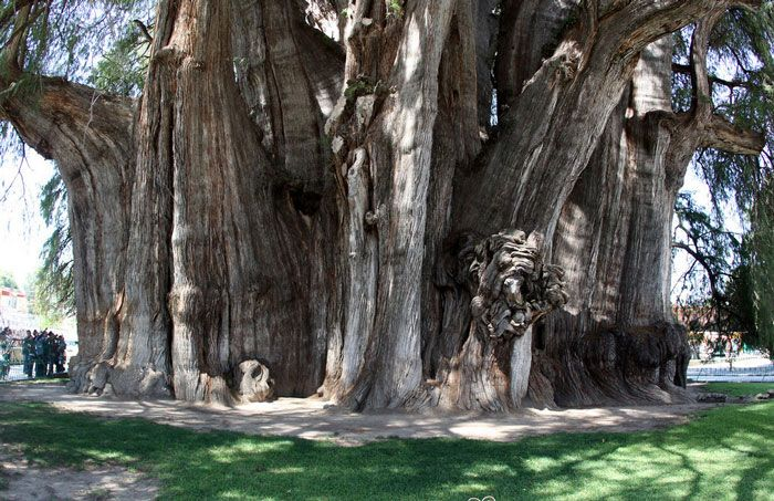 Tree of Tule, over 2000 years old #treehugger  #savetheplanet #ecofriendly #ecoliving