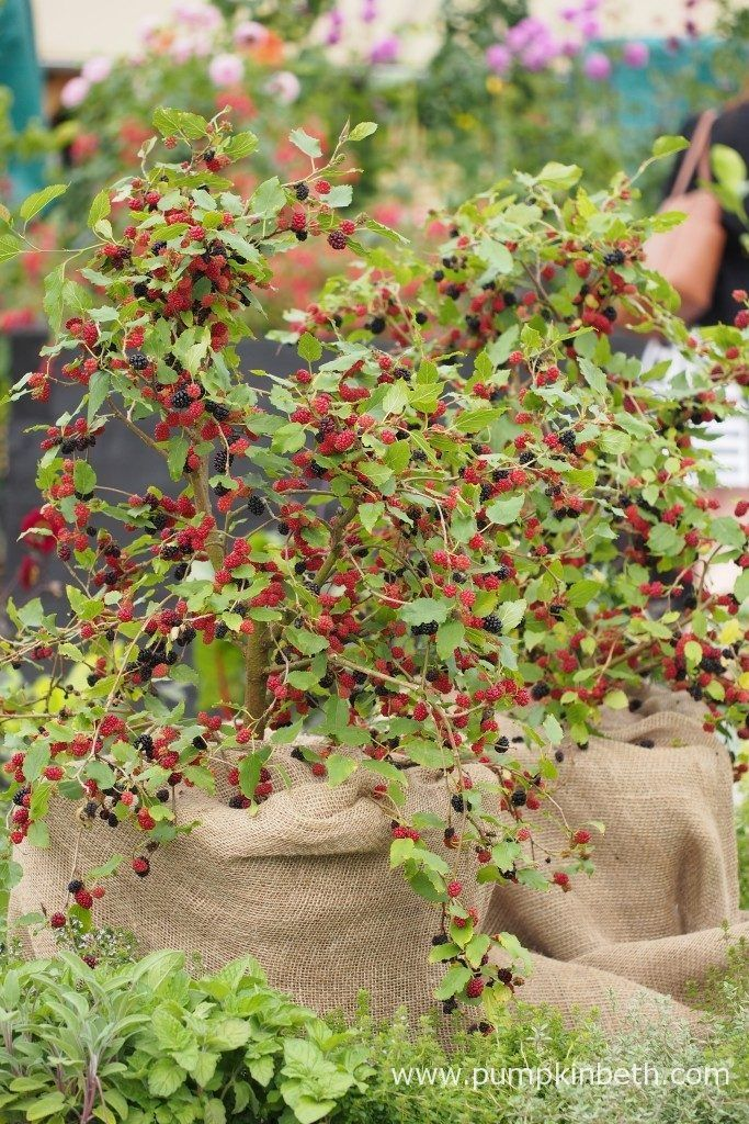 Mulberry 'Charlotte Russe', pictured in the RHS Kitchen Garden, at the RHS Hampton Court Palace Flower Show 2017. This new dwarf Mulberry was chosen as the RHS Chelsea Flower Show Plant of the Year 2017.