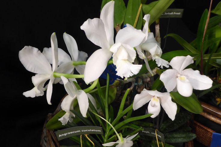 Angraecum Cuculatum