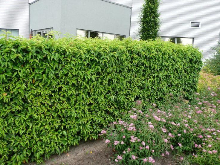 prunus lusitanica angustifolia hecke 800 600 krzewy zimozielone pinterest