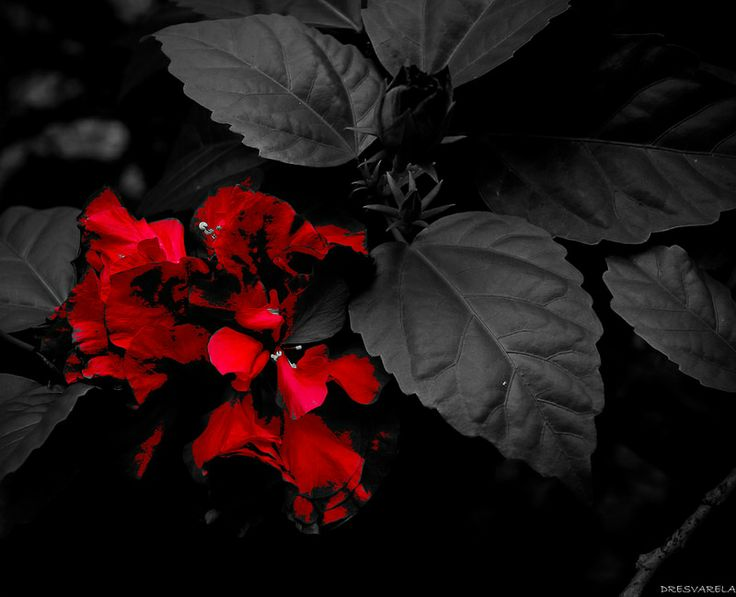 Clavel Rojo