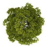 14471261-vue-de-dessus-de-l-erable-de-norvege-arbre-isole-sur-fond-blanc.jpg (168×168)